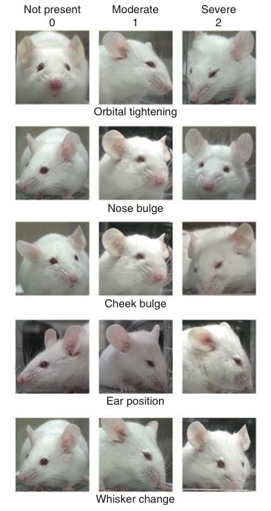 ratones muestran su dolor con gestos